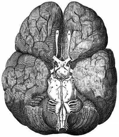 The brain, illustration by Thomas Willis, 1664.